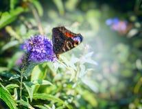 Papillon sur le buisson de papillon lilas au-dessus du fond vert brouillé de jardin Image stock