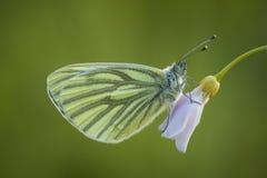 Papillon sur le cuckooflower Photographie stock