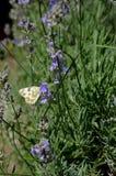 Papillon sur le flover de lavander Papillon sur le buisson de lavander Photographie stock libre de droits