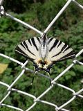 papillon sur le grillage Photo stock