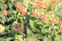 Papillon sur le Lantana orange Photo libre de droits
