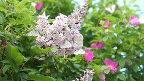 Papillon sur le lilas banque de vidéos