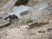 Papillon sur le rivage de la Mer Noire Photos libres de droits