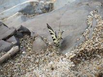 Papillon sur le rivage de la Mer Noire Photographie stock