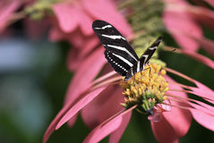 Papillon sur le rose Photographie stock
