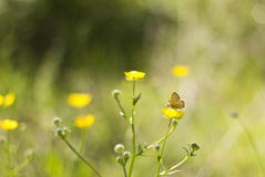 Papillon sur le wildflower Photo stock