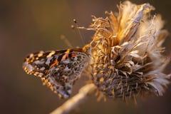 Papillon sur le wildfower sec de chardon Image stock