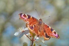Papillon sur les fleurs de cerisier blanches Photo stock