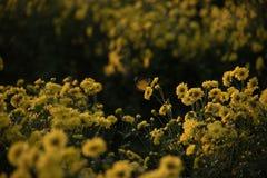 Papillon sur les fleurs jaunes de chrysanthème image stock