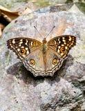 Papillon sur naturel Photo libre de droits