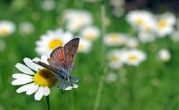Papillon sur un champ de camomille Fond estival Copiez les espaces photo stock