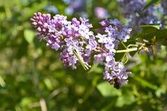 Papillon sur un ¾ f de la branche Ð le serein Photos libres de droits