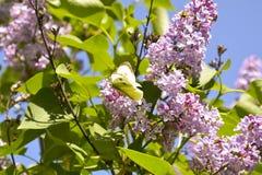 Papillon sur un ¾ f de la branche Ð le serein Photographie stock