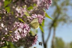 Papillon sur un ¾ f de la branche Ð le serein Image libre de droits