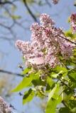 Papillon sur un ¾ f de la branche Ð le serein Photo libre de droits