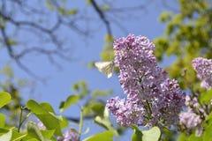 Papillon sur un ¾ f de la branche Ð le serein Images libres de droits