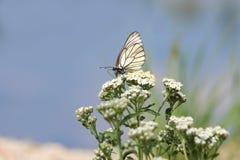 Papillon sur un fond bleu photographie stock