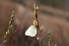 Papillon sur un saule de floraison Images stock