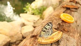 Papillon sur une banane banque de vidéos