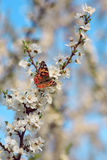 Papillon sur une branche d'arbre de Sakura Photo stock