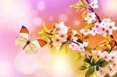 Papillon sur une branche de cerise Photos libres de droits