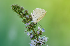 Papillon sur une branche de menthe Image stock