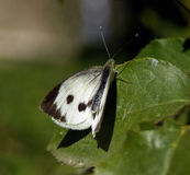 Papillon sur une feuille Photos libres de droits