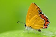 Papillon sur une feuille, moorei de Heliophorus Images libres de droits
