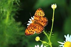 Papillon sur une fleur Images stock