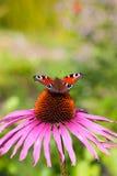Papillon sur une fleur Image stock