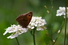 Papillon sur une fleur blanche Image libre de droits