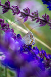 Papillon sur une fleur de pré d'été Photos libres de droits