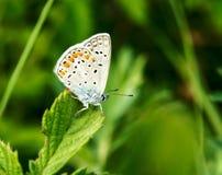 Papillon sur une fleur de pré d'été Image libre de droits
