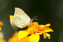 Papillon sur une fleur jaune Image stock