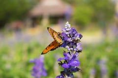 Papillon sur une fleur pourpre colorée, contre un backgrou brouillé Image libre de droits