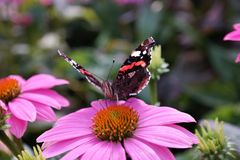Papillon sur une fleur rose photo stock