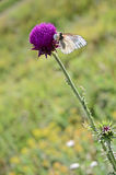 Papillon sur une fleur sauvage Image libre de droits