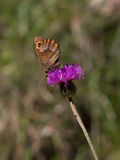 Papillon sur une fleur sauvage Photo stock