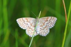 Papillon sur une lame Photographie stock libre de droits