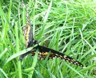 Papillon sur une lame d'herbe photo stock