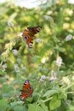 Papillon sur une usine dans le plan rapproché de macro de jardin Photos stock