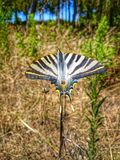 Papillon timide images libres de droits