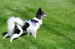 Papillon tracking another animal in a park Stock Image