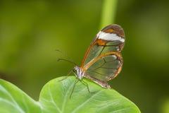 Papillon transparent d'aile - oto de Greta Images libres de droits