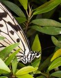 Papillon tropical de nymphe en bois - leuconoe d'idée Photo stock