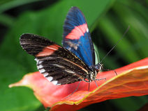 Papillon tropical se reposant sur la fleur d'Antherium Photo libre de droits