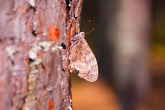 Papillon (urticae d'Aglais) Photo stock