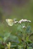Papillon vert clair photographie stock