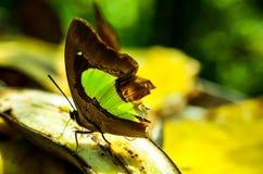 Papillon vert et brun de machaons Photographie stock libre de droits