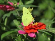 Papillon vert photos libres de droits